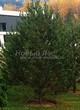 Хвойный крупномер Сосна обыкновенная (Pinus sylvestris) - 102