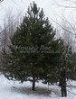 Хвойный крупномер Сосна обыкновенная (Pinus sylvestris) - 103