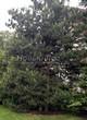 Хвойный крупномер Сосна обыкновенная (Pinus sylvestris) - 104
