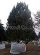 Хвойный крупномер Сосна обыкновенная (Pinus sylvestris) - 105