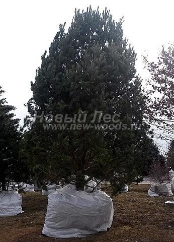 Посадка хвойных крупномерных деревьев сосны обыкновенной