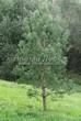 Хвойный крупномер Сосна обыкновенная (Pinus sylvestris) - 106