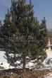 Хвойный крупномер Сосна обыкновенная (Pinus sylvestris) - 107