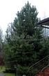 Хвойный крупномер Сосна обыкновенная (Pinus sylvestris) - 108