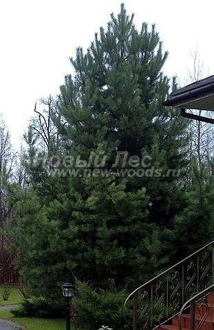 Хвойный крупномер Сосна обыкновенная (Pinus sylvestris) - Фото 108 - Хвойный крупномер Сосны при должном уходе всегда будет украшением любого ландшафтного участка (Истринский район, Московская область)