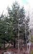 Хвойный крупномер Сосна обыкновенная (Pinus sylvestris) - 109