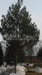 Хвойный крупномер Сосна обыкновенная (Pinus sylvestris) - 110