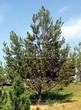 Хвойный крупномер Сосна обыкновенная (Pinus sylvestris) - 111