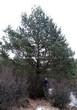 Хвойный крупномер Сосна обыкновенная (Pinus sylvestris) - 112