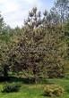 Хвойный крупномер Сосна обыкновенная (Pinus sylvestris) - 113