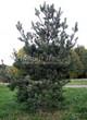 Хвойный крупномер Сосна обыкновенная (Pinus sylvestris) - 114