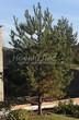 Хвойный крупномер Сосна обыкновенная (Pinus sylvestris) - 115