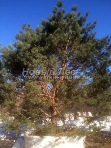 Хвойный крупномер Сосна обыкновенная (Pinus sylvestris) - Фото 116 - Крупномерная Сосна обыкновенная с декоративно изогнутым стволом (