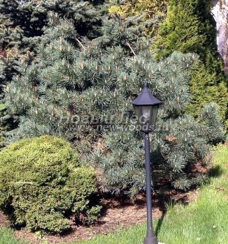 Хвойный крупномер Сосна обыкновенная Ватерери (Уотерери) (Pinus sylvestris 'Watereri')