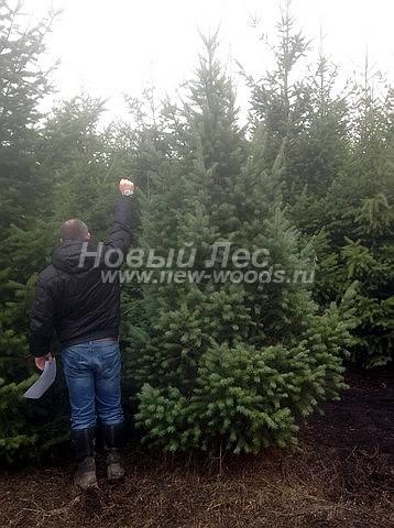 Посадка крупномеров хвойных деревьев Псевдотсуги Мензиса