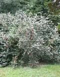 Лиственный крупномер Калина гордовина (Viburnum lantana)