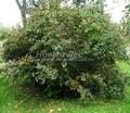 Лиственный крупномер Барбарис обыкновенный (Berberis vulgaris)