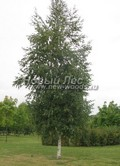 Берёза повислая (Берёза бородавчатая, Берёза обыкновенная) (Betula pendula)
