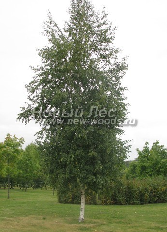 Лиственный крупномер Береза повислая (бородавчатая) (Betula pendula)