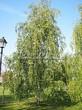 Лиственный крупномер Береза повислая (бородавчатая) (Betula pendula) - 101