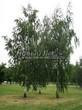 Лиственный крупномер Береза повислая (бородавчатая) (Betula pendula) - 102