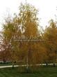 Лиственный крупномер Береза повислая (бородавчатая) (Betula pendula) - 103