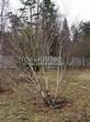 Лиственный крупномер Береза повислая (бородавчатая) (Betula pendula) - 104
