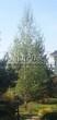 Лиственный крупномер Береза повислая (бородавчатая) (Betula pendula) - 105