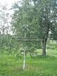 Лиственный крупномер Береза повислая (бородавчатая) (Betula pendula) - 106