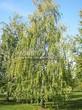 Лиственный крупномер Береза повислая (бородавчатая) (Betula pendula) - 107