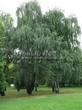 Лиственный крупномер Береза повислая (бородавчатая) (Betula pendula) - 108