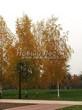 Лиственный крупномер Береза повислая (бородавчатая) (Betula pendula) - 109