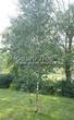 Лиственный крупномер Береза повислая (бородавчатая) (Betula pendula) - 110