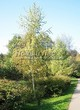 Лиственный крупномер Береза повислая (бородавчатая) (Betula pendula) - 111