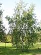 Лиственный крупномер Береза повислая (бородавчатая) (Betula pendula) - 112