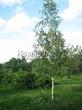 Лиственный крупномер Береза повислая (бородавчатая) (Betula pendula) - 113