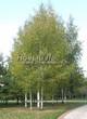 Лиственный крупномер Береза повислая (бородавчатая) (Betula pendula) - 114