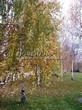 Лиственный крупномер Береза повислая (бородавчатая) (Betula pendula) - 115
