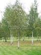 Лиственный крупномер Береза повислая (бородавчатая) (Betula pendula) - 116
