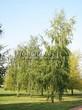 Лиственный крупномер Береза повислая (бородавчатая) (Betula pendula) - 117