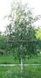 Лиственный крупномер Береза повислая (бородавчатая) (Betula pendula) - 118