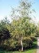 Лиственный крупномер Береза повислая (бородавчатая) (Betula pendula) - 119