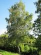Лиственный крупномер Береза повислая (бородавчатая) (Betula pendula) - 120