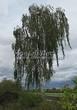 Лиственный крупномер Береза повислая (бородавчатая) (Betula pendula) - 121