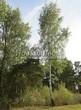 Лиственный крупномер Береза повислая (бородавчатая) (Betula pendula) - 122