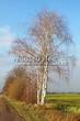 Лиственный крупномер Береза повислая (бородавчатая) (Betula pendula) - 123