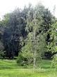 Лиственный крупномер Береза повислая (бородавчатая) (Betula pendula) - 124