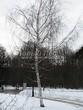 Лиственный крупномер Береза повислая (бородавчатая) (Betula pendula) - 127