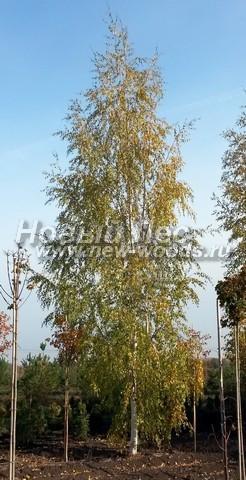 Лиственный крупномер Береза повислая (бородавчатая) Лачиниата (Лациниата) (Betula pendula 'Laciniata')