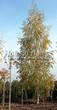 Лиственный крупномер Береза повислая (бородавчатая) Лациниата (Betula pendula 'Laciniata') - 101